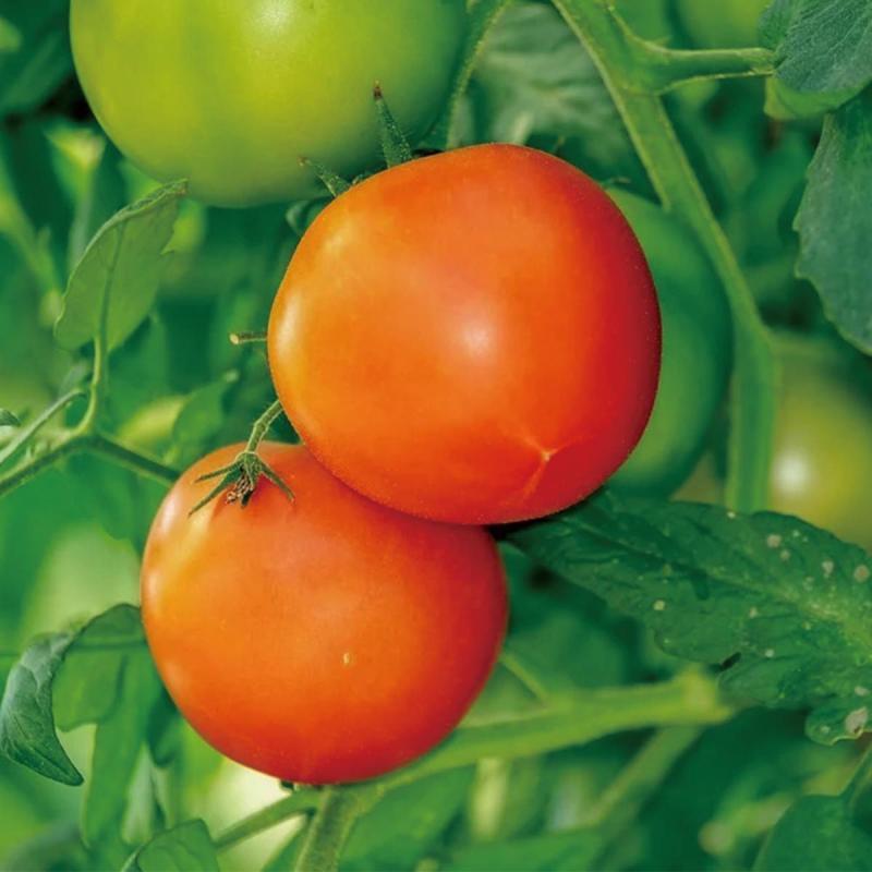「トマト」の育て方・栽培のコツ(家庭菜園)