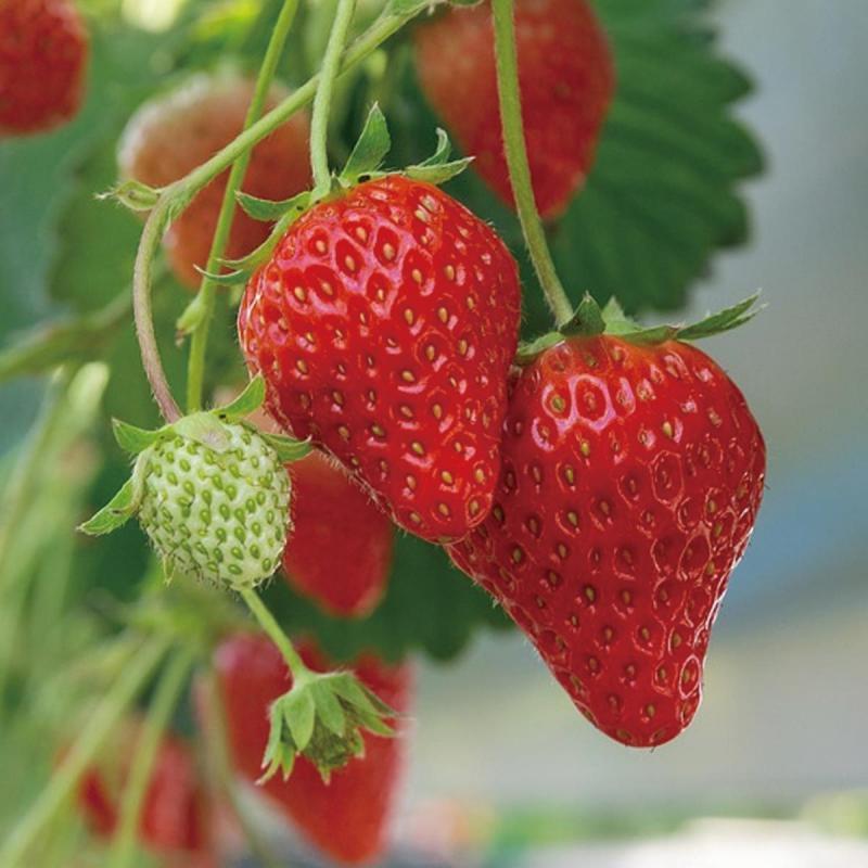 「イチゴ」の育て方・栽培のコツ(家庭菜園)