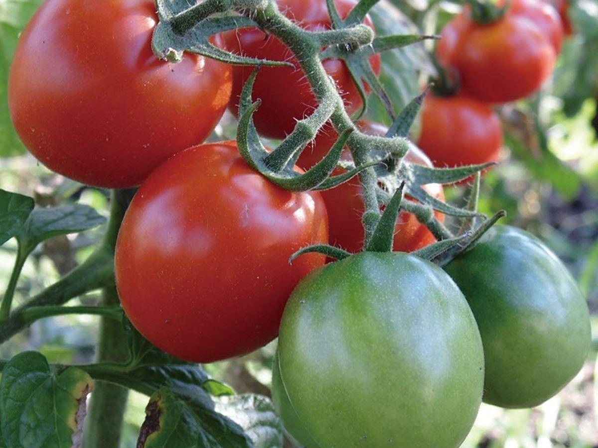 ミニ トマト の 栽培 方法