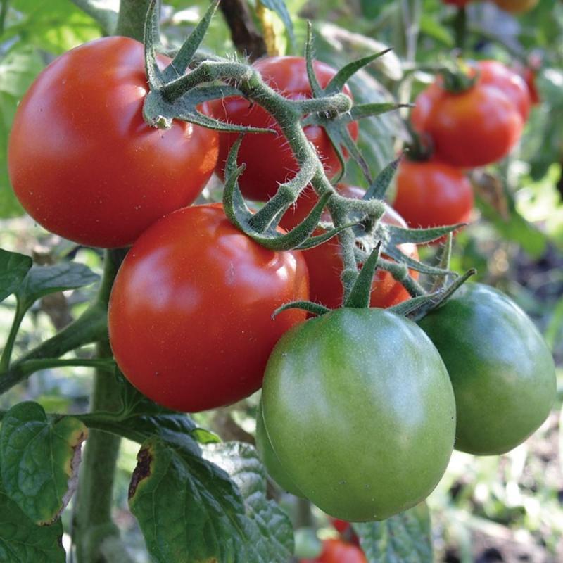 プランターで作る「ミニトマト」の育て方・栽培のコツ(家庭菜園)