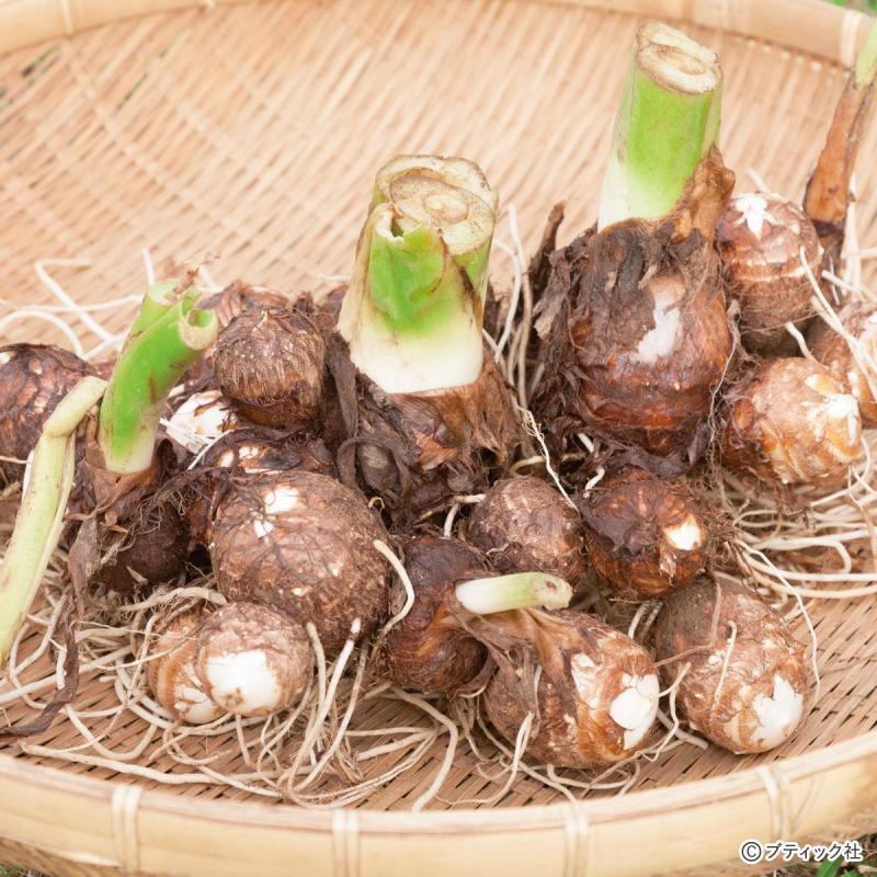 たった一坪でできる野菜づくり!「サトイモ」育て方