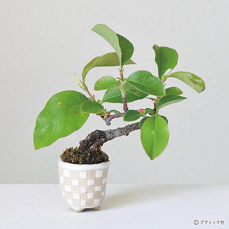 超ミニ盆栽の基礎「基本情報、魅力、育てる過程」について