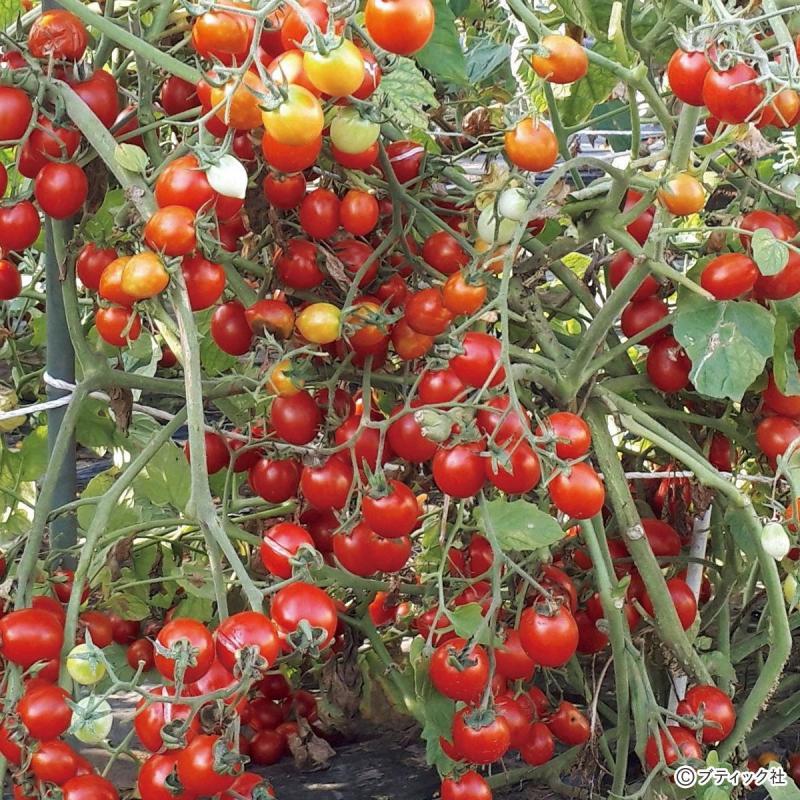 家庭菜園「ジャングルトマト」の育て方