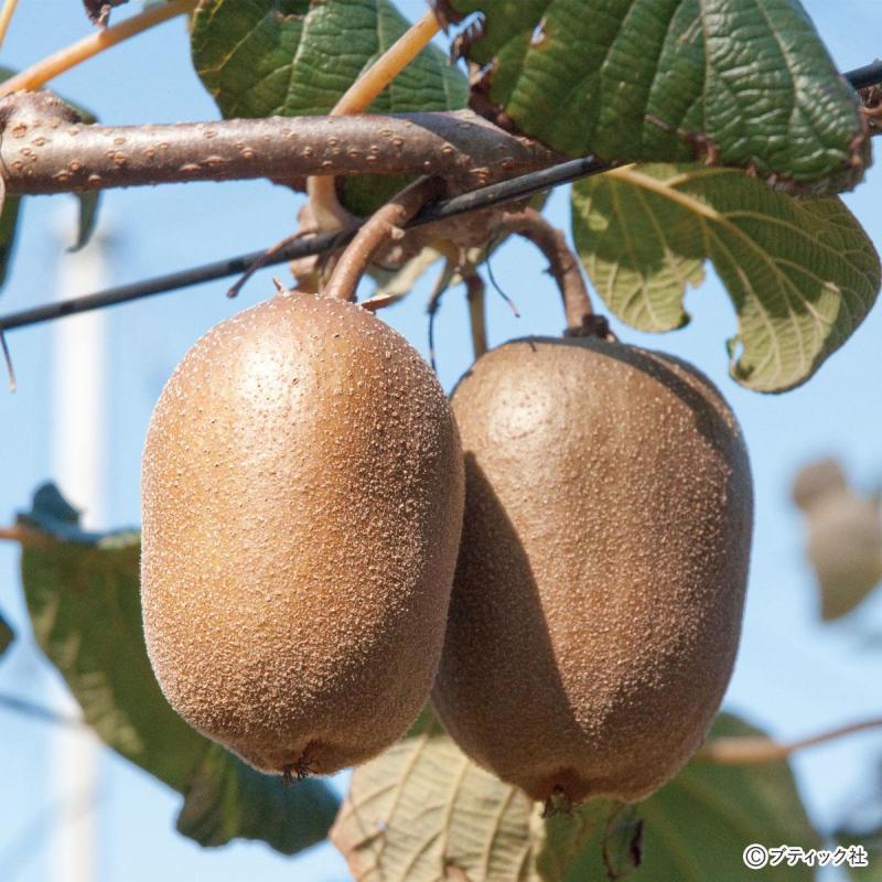 「キウイフルーツ」の育て方・栽培のコツ(果物/家庭菜園)