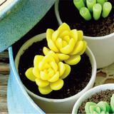 インテリアに映える!粘土で手作りする多肉植物の黄麗の作り方