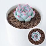 フェイクに見えない粘土で作る多肉植物のチワワエンシスの作り方